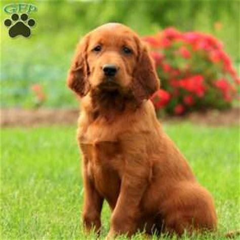 puppies for sale in nj 300 setter puppies for sale in de md ny nj philly dc and baltimore breeds picture