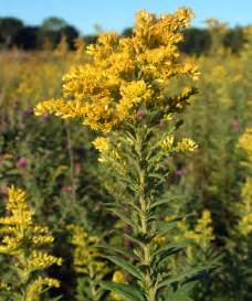 file goldenrods in fountain county indiana png wikipedia