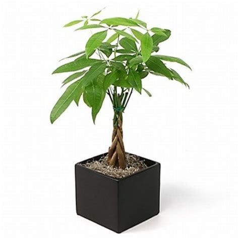 large braided money tree indoor office plants by money tree pachira small plant decor toronto s