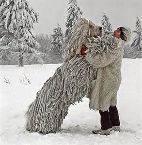 Have you ever seen a komondor in person poll results dogs fanpop