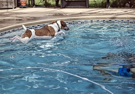backyard dog pool 7 backyard pool dog rules you should think about happy jack russell
