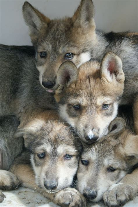 buy wolf puppies 474 best images about wolf on wolves coyotes and a wolf