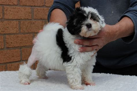 for puppies to stunning health checked lowchen puppy leyland lancashire pets4homes