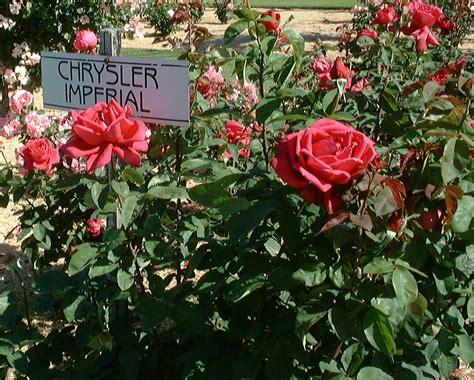 chrysler imperial bush rosa chrysler imperial