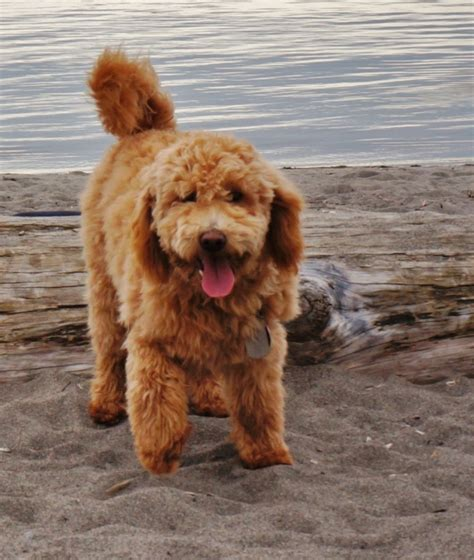 mini goldendoodles size f1b mini goldendoodle grown goldenacresdogs