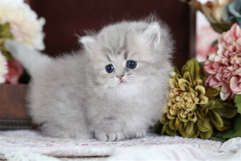 rug hugger kittens for sale rug hugger kitten for saleultra kittens for