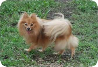 pomeranian for adoption in va adopted virginia va pomeranian