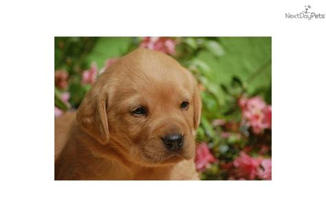 fox lab puppies for sale price meet a labrador retriever puppy for sale for 600 akc lab puppies all
