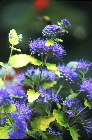 flowering shrubs pacific northwest 72 best images about caryopteris on sun blue