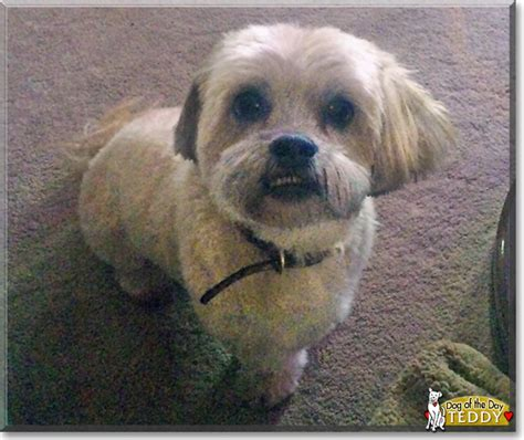 lhasa apso mix shih tzu teddy lhasa apso shih tzu mix july 28 2016