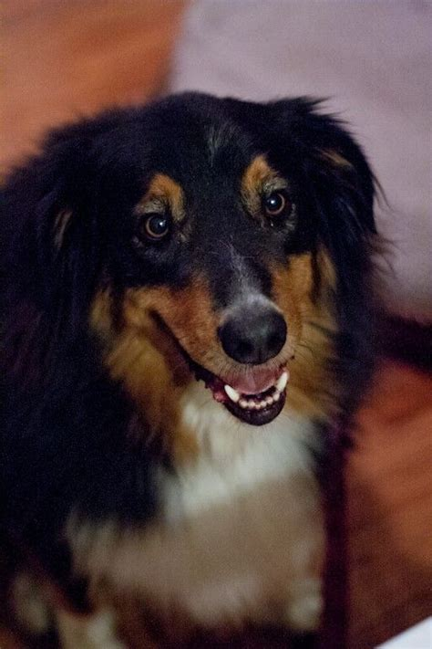 bernese mountain australian shepherd mix 17 best images about rescue pups dogs on