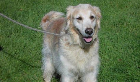 10 year golden retriever 10 year golden retriever for adoption