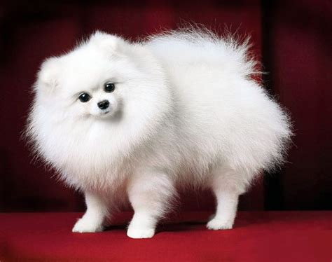 pomeranian breed standard pomeranian breed standard photo en