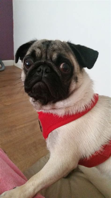 pug 1 year 1 year pug manchester greater manchester pets4homes