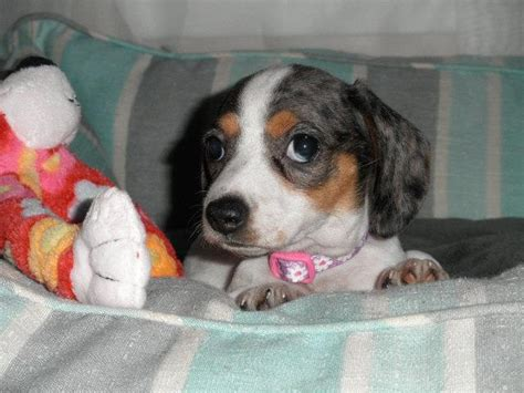 dachshund puppies for sale in st louis pin tiny mini dachshund puppies in louis oklahoma for sale on