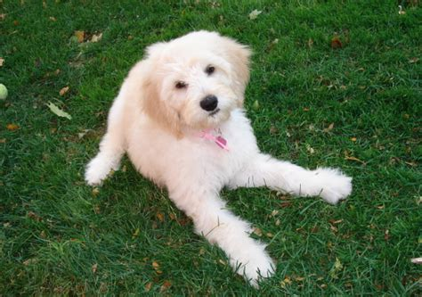 goldendoodle puppies wi puppies for sale goldendoodles in dallas wisconsin breeds picture
