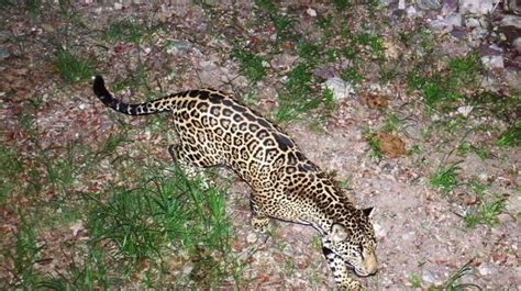 12news jaguars a history with arizona