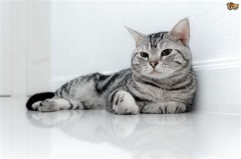 The Lovely Silver Tabby American Shorthair Cat   Pets4Homes