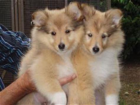 sheltie puppy for sale sheltie puppies for sale