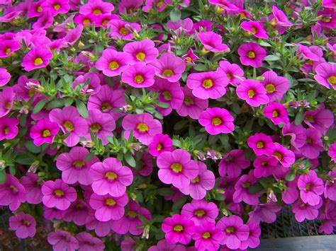million bells 174 one of the most popular plants in the