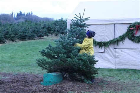 sauvie farms christmas o trees news thechronicleonline