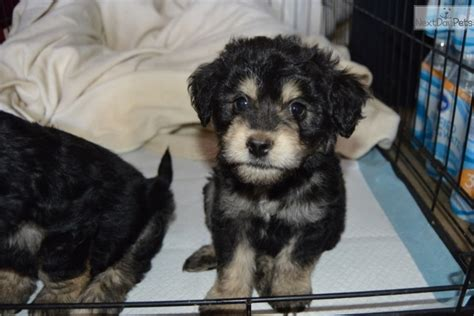 rottie poo puppies for sale rottweiler puppy for sale near san diego california ec3b3720 7411