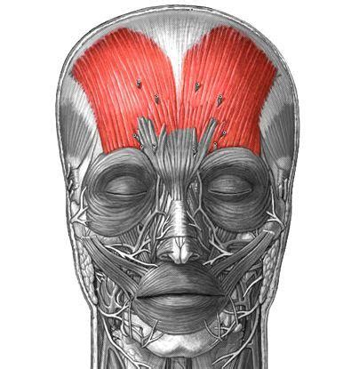 Facial Muscles at University of Western Ontario - StudyBlue Frontalis Muscle Origin Insertion Action