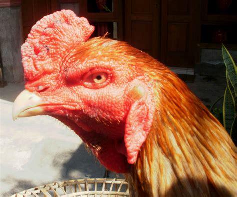 ternak ayam bangkok berkwalitas  pacekan  ayam bangkok klawu ketek