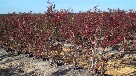 fruit trees for sale in nj blueberry foliage colors by dimeo blueberry plants on sale