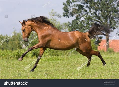 nice hourse running arabian horses