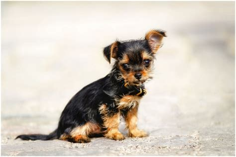 chorkie hair chorkie dog facts pictures puppies prices breeders