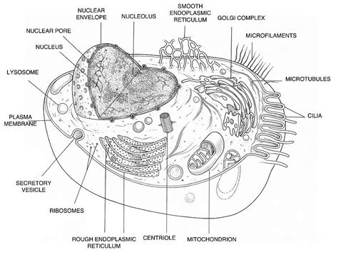 sketch and label a section of the cell membrane animal cell diagram photograph by science source