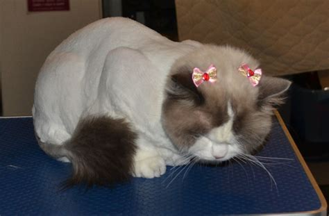 rag doll hair matted gallery kylies cat grooming services part 145
