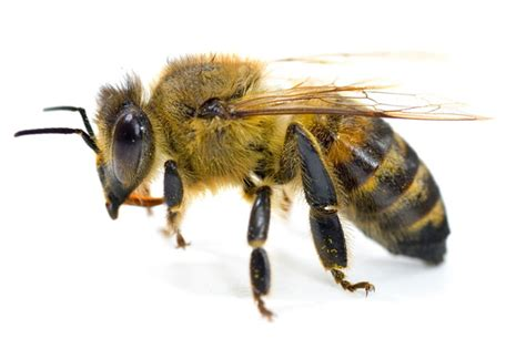 Karpet Set Motif Bee Lebah study finds that nanoparticles loaded with bee venom can kill hiv inhabitat green design
