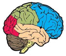 Brain Outline Lobes by Brain Blank Diagram Clipart Best