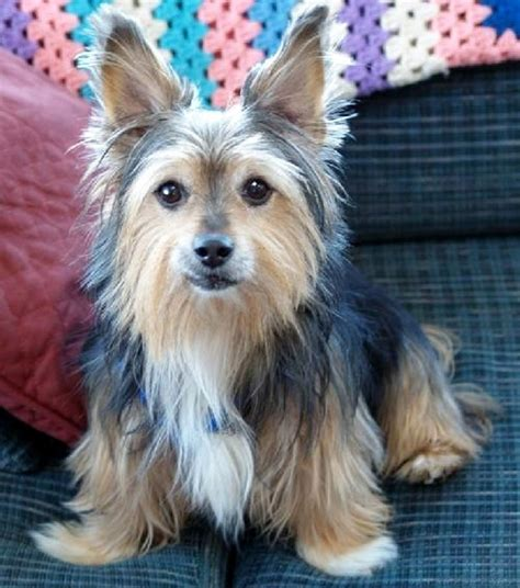 corgi yorkie mix corgi cross breeds are 25 pictures