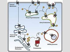 Ubiquitination of G Protein-Coupled Receptors: Functional ... G Protein Coupled Receptors Gpcrs