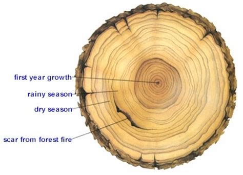 Tree Cross Section Diagram by How Do Botanists The Exact Age Of A Tree