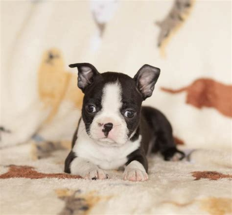 boston terrier puppies for sale in michigan boston terrier puppies craigspets