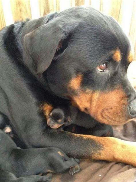 newborn rottweiler puppies rottweiler momma with newborns ahhhhh i want and babies rottweiler