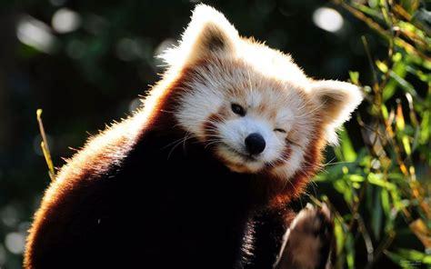 read panda panda images and animals
