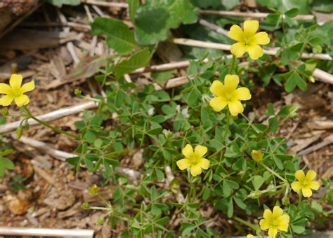 yellow wood sorrel identify that plant