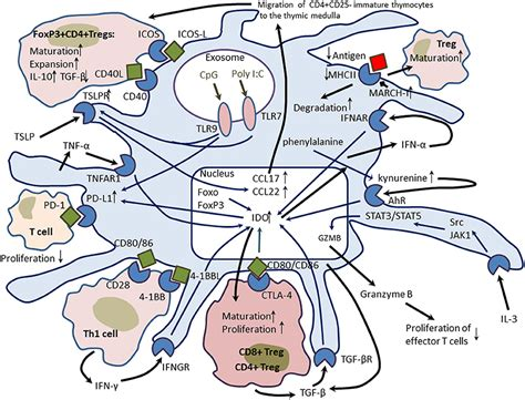 frontiers tolerogenic dendritic cells for frontiers plasmacytoid dendritic cells development