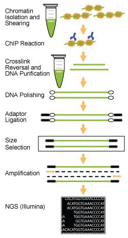 chip qpcr protocol epinext chip seq high sensitivity kit illumina epigentek