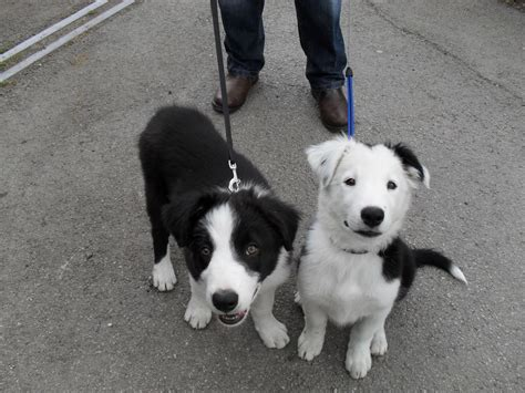 collie puppies for adoption border collies for adoption breeds picture