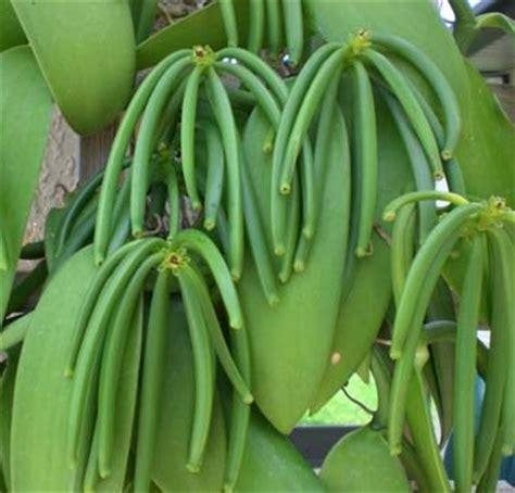 manfaat tanaman vanili pengusir serangga
