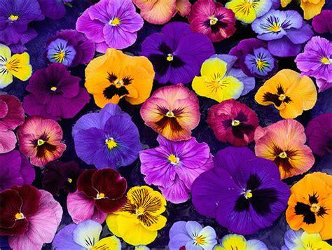 pansy colors beneath the petals facts about pansies and violas