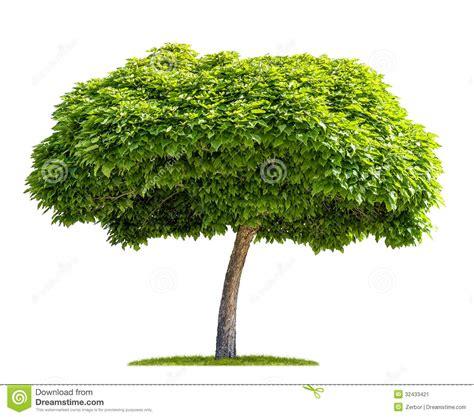 o tree isolated catalpa tree stock image image 32433421