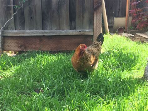 Backyard Chickens Island San Jose Ca I 2 Chickens That Need A Home 1