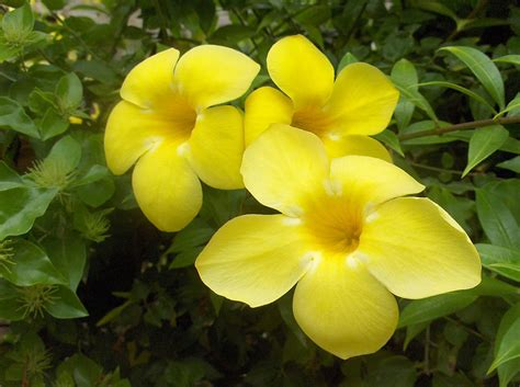 Flowers Plants by Plants Amp Flowers 187 Allamanda Schottii